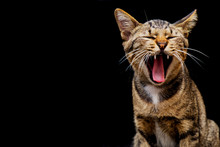 Cute Brown Tabby Cat Are Yawni...