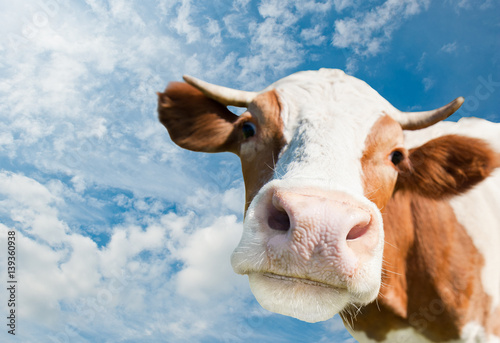 Staande foto Koe Brown cow (focus on the nose) against blue sky background