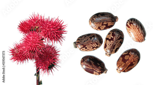 Fotografia  Red fruits of Ricinus isolated on white