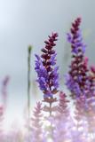 Lavender bushes closeup on sunset. Lavender field closeup - 139376168
