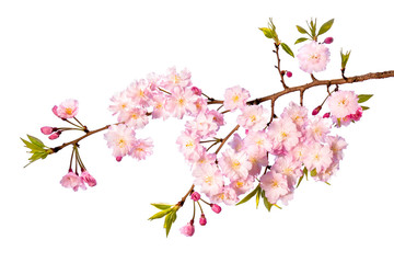 Rosa Kirschblüte vor weißem Hintergrund als Freisteller