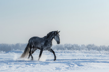 Fototapeta na wymiar Thoroughbred Spanish gray horse walks on freedom