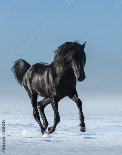 Free black horse in the field in the winter.