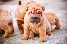 Cute Puppy Of Chinese Shar Pei