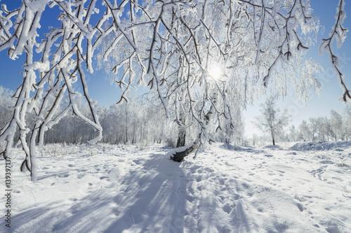 Aluminium Prints Dark grey Birch Grove winter sunny day