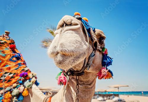 Spoed Fotobehang Kameel Head of the camel with open eyes, close-up, portrait, Egypt