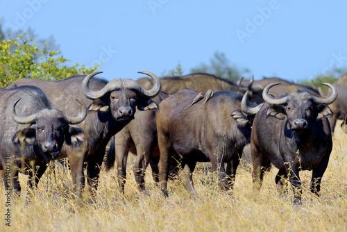 La pose en embrasure Bison Wild African buffalo bull