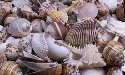 Fototapeta Marynistyczny Seashells background - macro shot of beautiful seashells