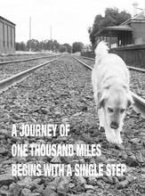 Golden Retriever Dog Walking A...