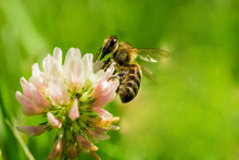 Closeup Of Bee At Work On White Clover Flower Collecting Pollen