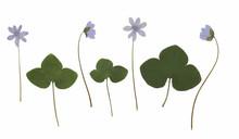 Anemone Hepatica (hepatica, Liverwort, Kidneywort, Pennywort). Herbarium From Dried Blossoming Flower Arranged In A Row.