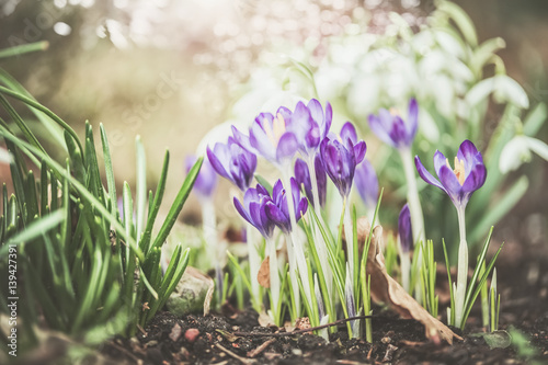 Pretty spring outdoor nature background with crocuses flowers Buy