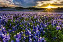 Texas Bluebonnet Field In Suns...