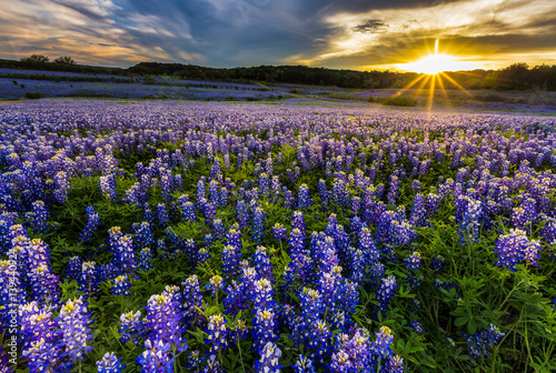 Montage in der Fensternische Texas Texas bluebonnet field in sunset at Muleshoe Bend Recreation Area
