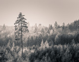 Winter forest in black and white