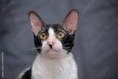 Photo Cornish Rex cat