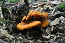 Omphalotus Olearius Or Orange Jack O Lantern Mushroom Gills, Toxic Mushroom