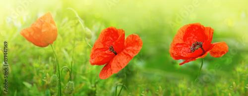 trzy-kwiaty-maku-w-blasku-slonca-na-zielonym-tle