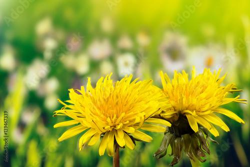 Fototapeta Field Sow Thistle - Field Flowers