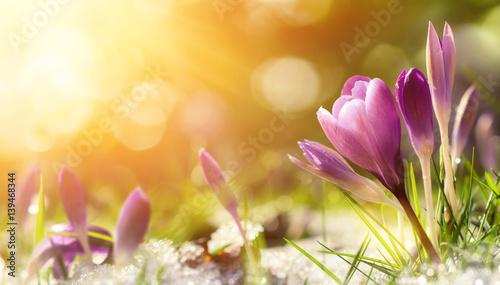 Krokus Blümchen im Schnee begrüßen die warme Sonne