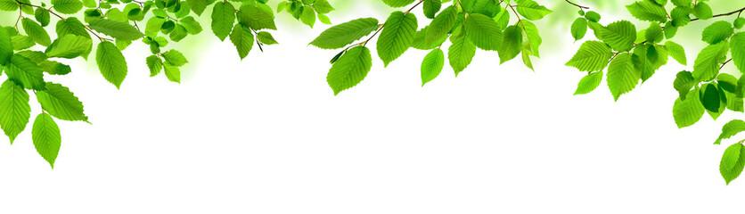 Panel SzklanyGrüne Blätter auf weiß als natürliche Verzierung, Panorama Format