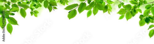 Fotografia  Grüne Blätter auf weiß als natürliche Verzierung, Panorama Format