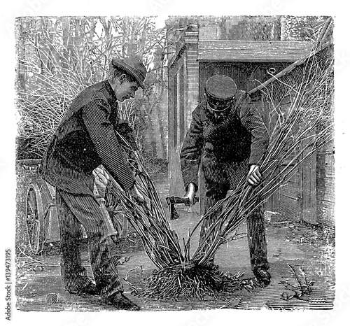 Vintage gardening engraving, farmers divide a shrub to plant it as several separate plants Poster