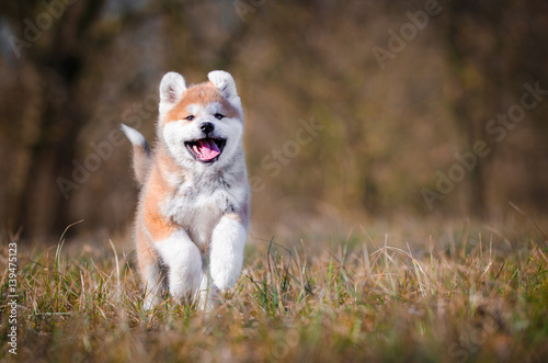Akita inu dog playing on the grass Wallpaper Mural