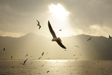 Seagull Comes For Winter. Lake DianChi, Yunnan Province, China.