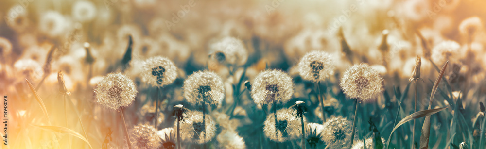 Fototapety, obrazy: Selective focus dandelion seeds - springtime in meadow