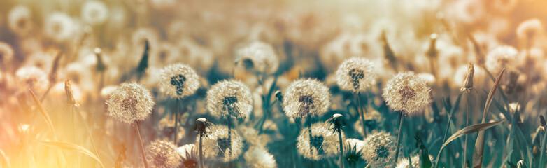 Selective focus dandelion seeds - springtime in meadow