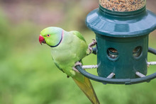 Rose-Ringed Parakeet On Bird F...