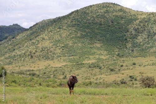 antylopa gnu pręgowane w parku narodowym Pilanesberg