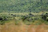 Fototapeta Sawanna - Sawanna w parku narodowym Pilanesber w Republice Południowej Afryki