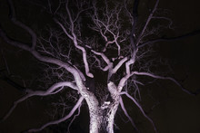 Spidery Winter Tree Spotlighted From Beneath Giving It A Spooky Purple Glow, Bare Branches, Winter Or Halloween Scene
