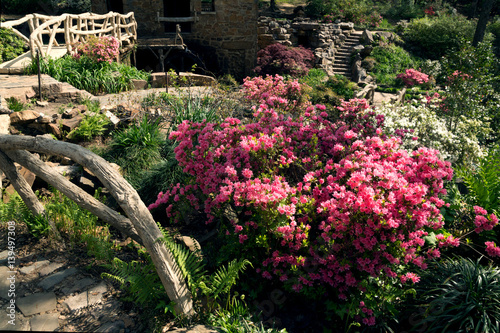 Flowering rhododendrons in the landscape of Old Mill Park, North Little Rock, Arkansas,