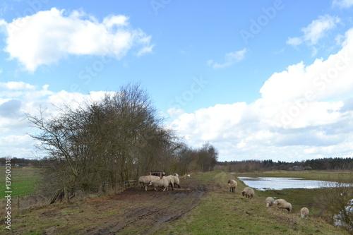 Aluminium Prints Sheep een kudde schapen op de dijk van de overstroomde rivier de Regge