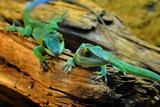 Fototapeta Zwierzęta - Jaszczurki