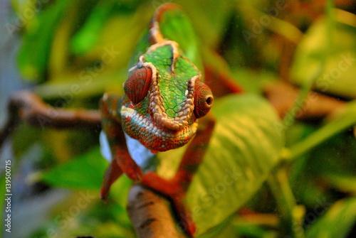 Door stickers Chameleon Kameleon