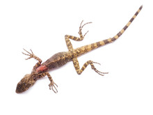 Injured And Dead Lizard On White Background