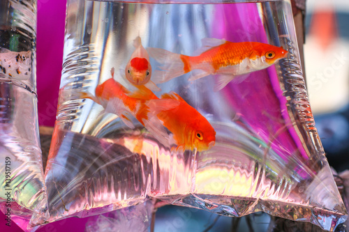 Photo aquarium fish in a plastic bag with water for carrying