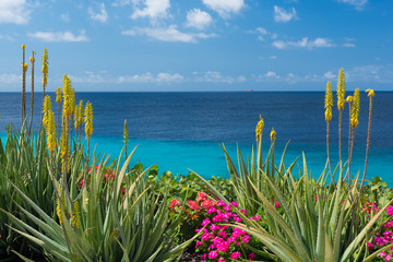 Panel Szklany Egzotyczne Blossoming, yellow flowers aloe-vera plant and blue sea, Curacao island