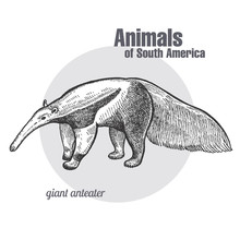 Giant Anteater Hand Drawing. Animals Of South America Series. Vintage Engraving Style. Vector Illustration Art. Black And White. Object Of Nature Naturalistic Sketch.