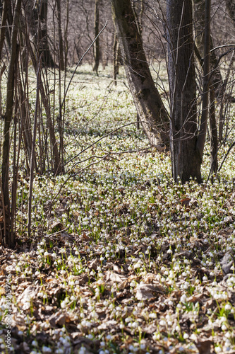 Photo  Almost million of blooming Leucojum vernum, spring snowflakes in New Castle, Kostelec nad Orlici, Czech republic, 4th of March, 2017