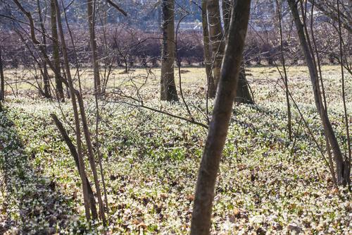Photo  Almost million of blooming Leucojum vernum, spring snowflakes in New Castle, Kos