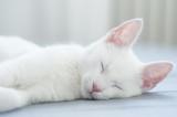 śpiący biały kot