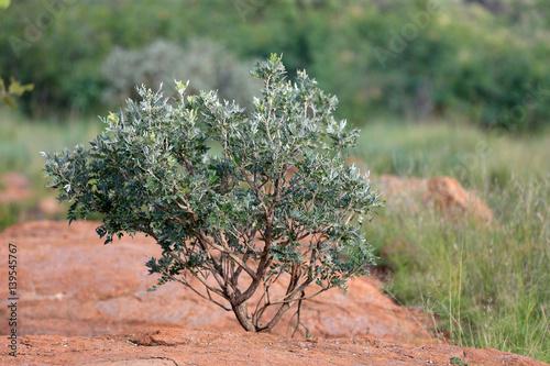 Drzewo wśród skał na sawannie