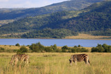 Fototapeta Sawanna - Zebry stepowe Equus quagga w parku narodowym Pilanesberg