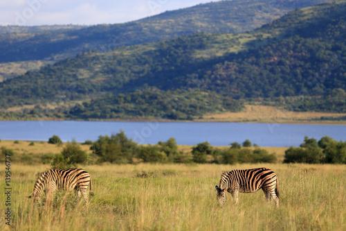 Zebry stepowe Equus quagga w parku narodowym Pilanesberg