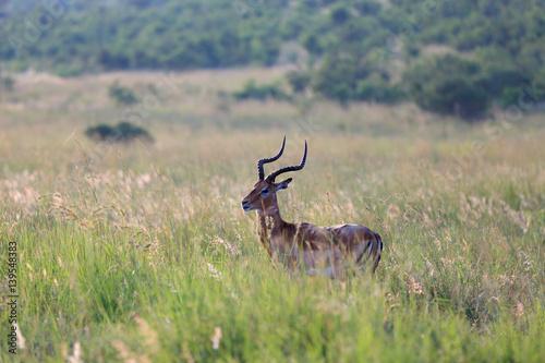 Antylopa impala w parku narodowym Pilanesberg
